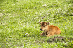 A small calf lies on a meadow Stock Photos
