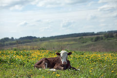 Small calf lying Stock Photo
