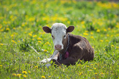Small calf Stock Photos