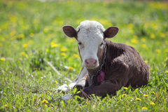 Small calf lying Stock Photography