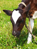 The small calf on a meadow Stock Image