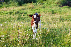 Small calf on the meadow Stock Photo