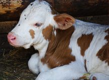A small calf of white color with red spots, plastered with flies. Lies in a barn on the farm stock photos