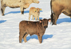 Small calf in winter. Cute small fluffy calf in winter and some other cows at the background Stock Photos