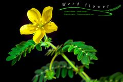 Small caltrops weed, isolated plant on black background. Yellow flower of small caltrops weed, isolated flower on black background with common and scientific royalty free stock photography