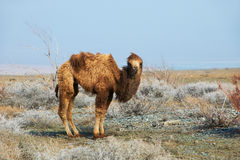 Small camel Stock Photo