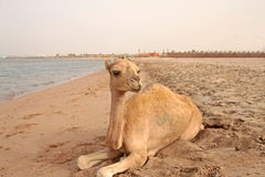 Small camel on the beach Stock Image