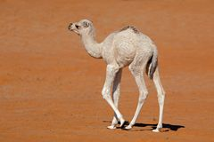 Small camel calf on a sand dune Royalty Free Stock Photo