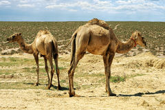 Small camels. Royalty Free Stock Photography