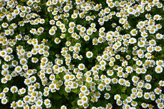 Small camomile flowers Stock Image