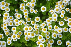 Small camomile flowers Royalty Free Stock Image