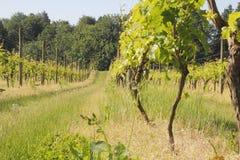 Small Canadian Vineyard Stock Photo