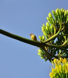 Small canary bird on branch with agave flowers. Canary bird on agave flowers Stock Image