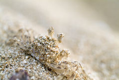 Small cancer on the sand. Closeup on a small cancer covered with sand royalty free stock images