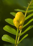 Small candlebush flower Stock Images