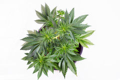 Small cannabis pottet plant & x28;sour diesel strain& x29; isolated over w Royalty Free Stock Photo
