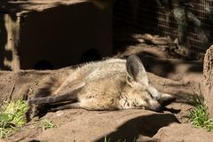 Cape Fox sleeping in the sun. A small cape fox sleeping in the afternoon sun in his cage.  In captivity Royalty Free Stock Image