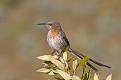 Cape Sugarbird on bush stock images