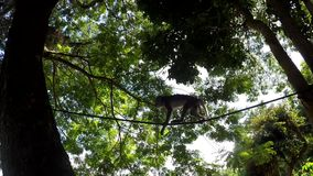 Small captive monkey chained on the tree. Small captive monkey chained on huge tree low angle shot stock video