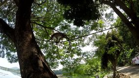 Small captive monkey chained on the tree. San Pablo City, Laguna, Philippines - October 2, 2017: small captive monkey chained on the tree stock footage