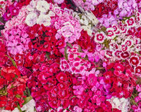 Small carnation flowers closeup Stock Photography