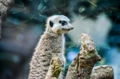 Small Carnivore Mammal Animal Suricata Stock Photo