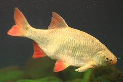 Small carp fish Royalty Free Stock Photos