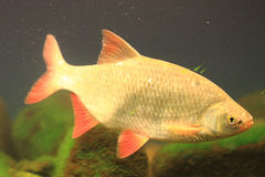 Small carp fish Royalty Free Stock Images