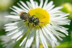 Small Carpenter Bee - Ceratina species. Small Carpenter Bee collecting nectar from a Philadelphia Fleabane flower. Todmorden Mills Park, Toronto, Ontario, Canada Stock Photography