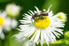 Small Carpenter Bee - Ceratina species. Small Carpenter Bee collecting nectar from a Philadelphia Fleabane flower. Todmorden Mills Park, Toronto, Ontario, Canada Royalty Free Stock Image