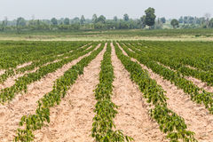 The small cassava of cassava farm,industrial drop of Thailand. Royalty Free Stock Photo