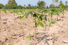 Small cassava growing tree Royalty Free Stock Photography