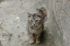 Small cat. Small grey cat Royalty Free Stock Image