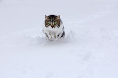 Small cat bounces happily through the snow in winter Royalty Free Stock Photos