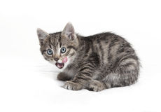 Small cat calls Royalty Free Stock Photography