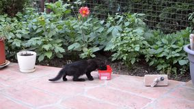 Small cat is drinking. Black, a little bit frightened, kitten is drinking milk or water from a red plastic box in a garden stock video footage