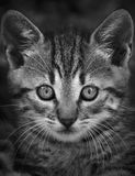Small cat face. Small cat face in black and white Stock Images