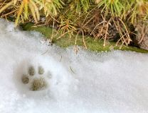 Small cat feline paw print in the snow. Snow print from a cat paw royalty free stock photo