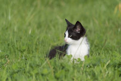 Small cat in grass. Black and white cat staring in the middle of the grass Royalty Free Stock Photography
