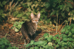 Small Cat Kitten Hunting In Green Grass Outdoor At Sunny Summer Royalty Free Stock Photos