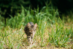 Small Cat Kitten Hunting In Green Grass Outdoor At Sunny Summer Royalty Free Stock Image