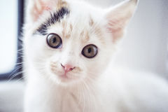 Small cat is looking at the camera. White small cat is looking at the camera Stock Image