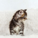 Small cat maine coon sitting on white fur background Royalty Free Stock Image