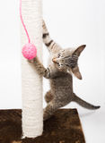 Small cat playing with a pink ball and isolated on white Royalty Free Stock Image