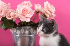 Small Cat Posing In Front Of Bouquet Of Roses In A Flower Pot Royalty Free Stock Photography