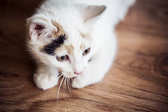 Small cat sitting at home on the floor. White small cat sitting at home on the floor Stock Images