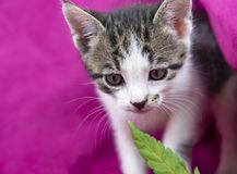 Small Cat Smelling A Cannabis Leaf On Pink Background Stock Photography
