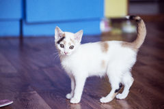 Small cat is standing at home on the floor. White small cat is standing at home on the floor Royalty Free Stock Photos