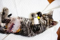 Small cat under anesthetic effects- sleeping. Small cat waking up from anesthetic effects Royalty Free Stock Photos