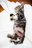 Small cat under anesthetic effects- sleeping. Small cat waking up from anesthetic effects Stock Images